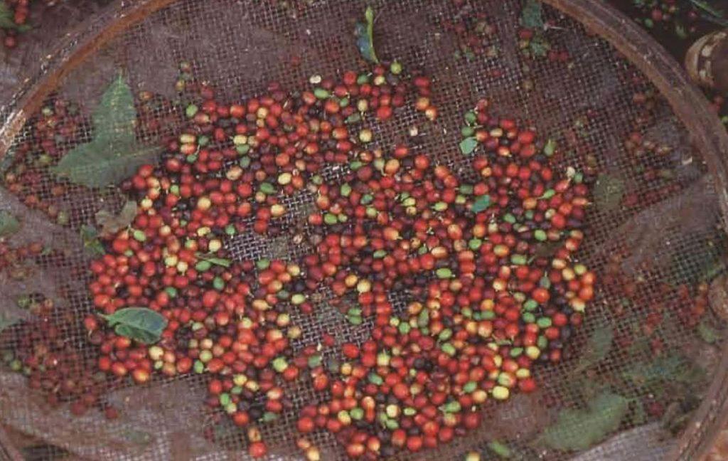 Le criblage requiert l'usage d'un grand tamis avec lequel on lance la récolte en l'air pour ne récupérer que les cerises.