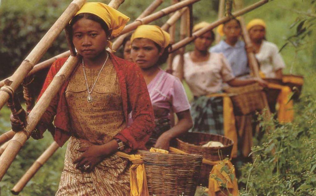 Ces cueilleuses se rendent dans les plantations des régions montagneuses de Java, où elles utilisent des échelles pour atteindre la cime des caféiers.