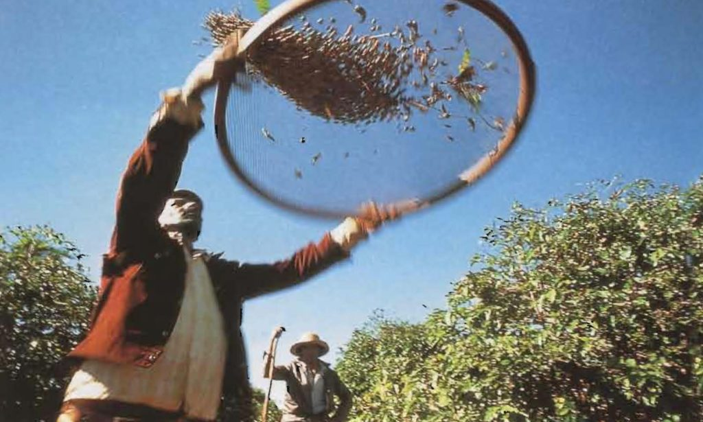 Un cribleur brésilien fait tournoyer dans les airs le produit de la récolte mécanique, espérant ne retenir que les cerises.