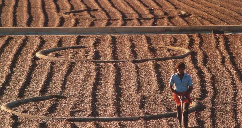 Cerises de café mises à sécher sous le soleil kényan.
