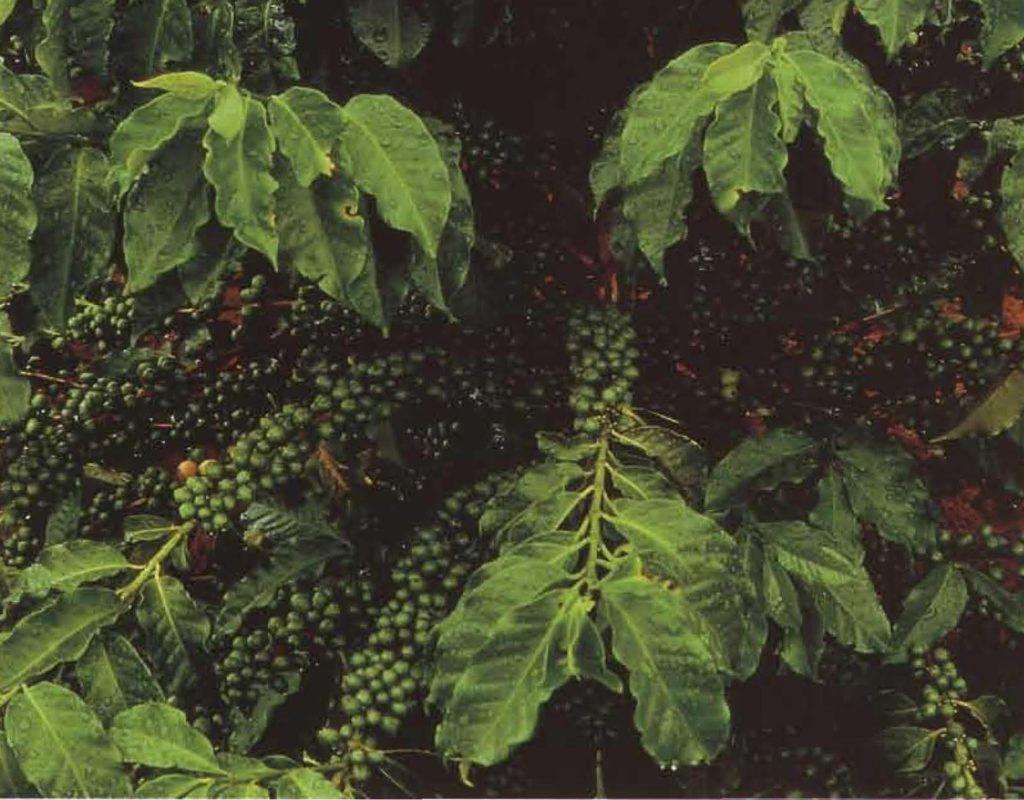L'une des plus belles plantes de la nature: le caféier et son luxuriant feuillage.