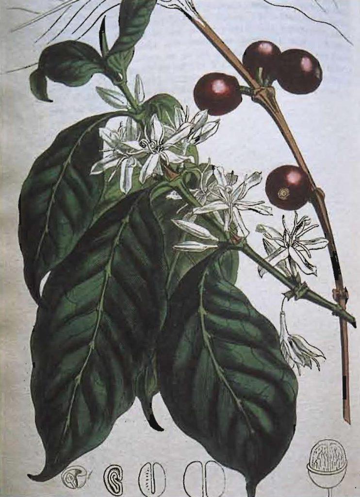 Coffea arabica, magazine de botanique, Londres, 1810.
