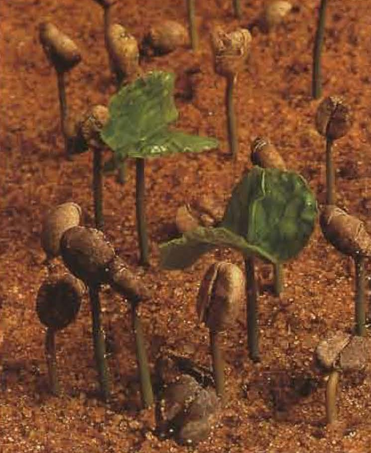 Jeunes plants de café.