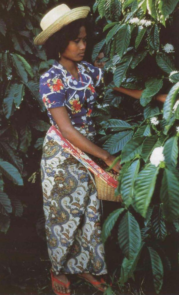 Une Javanaise cherche les fruits mûrs parmi les feuilles du caféier.