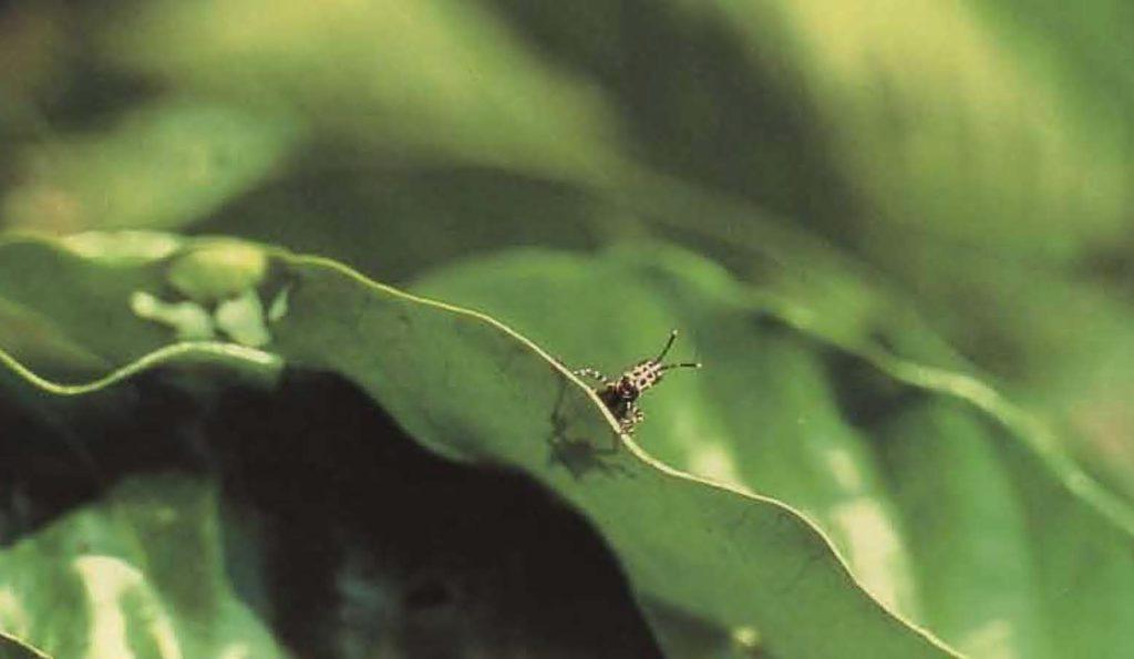 La sauterelle est un des nombreux prédateurs du caféier.